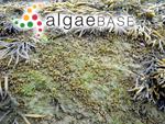 Ascophylla canaliculata (Linnaeus) Kuntze
