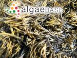 Pelvetia canaliculata (Linnaeus) Decaisne & Thuret