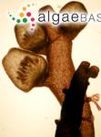 Chondria coerulescens (J.Agardh) Sauvageau
