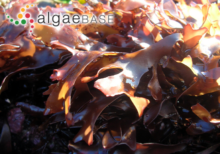 Ilea foeniculacea (Hudson) Fries