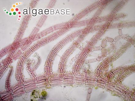Dictyosiphon foeniculaceus var. flaccidus (Areschoug) Areschoug