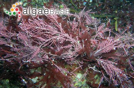 Philippiella australis (J.Agardh) P.C.Silva