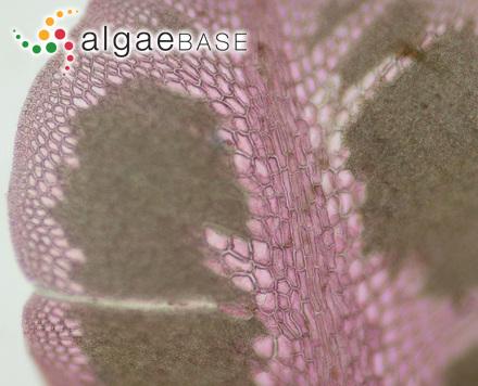 Myriactis cystophorae (J.Agardh) Kuckuck