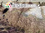 Polysiphonia hypnoides Welwitsch