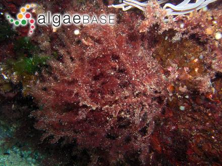 Bactrophora filum (Harvey) J.Agardh