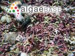 Lithothamnion calcareum (Pallas) Areschoug