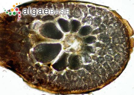Zonaria angustata (Kützing) Papenfuss