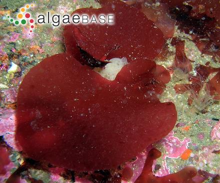 Ceramium littorale (Linnaeus) Dillwyn