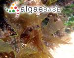 Delesseria punctata (Stackhouse) C.Agardh