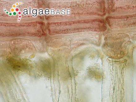Cystophora polycystidea Areschoug ex J.Agardh