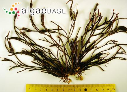 Ectocarpus littoralis var. compactus (C.Agardh) Areschoug