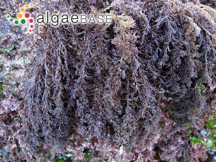 Myriodesma leptophyllum J.Agardh