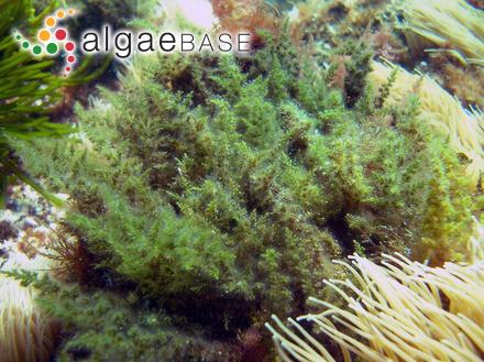 Sargassum muriculatum J.Agardh