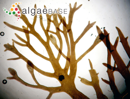 Sargassum tasmanicum Sonder