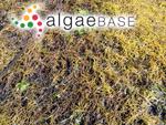 Agarophyton vermiculophyllum (Ohmi) Gurgel, J.N.Norris et Fredericq