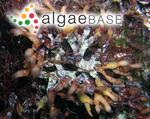 Gymnogongrus crenulatus (Turner) J.Agardh