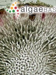 Polyides rotunda (Hudson) Gaillon