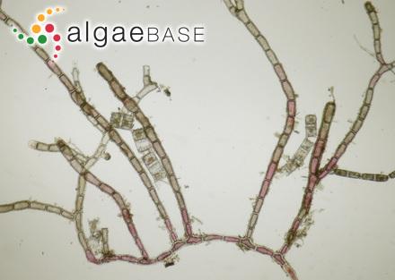 Cladophora aegagropiloidea Hoek & Womersley