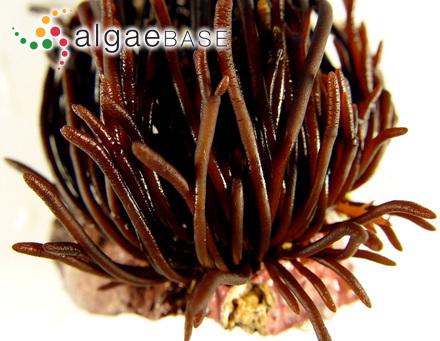 Cladophoropsis bulbosa Womersley