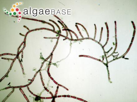 Punctaria plantaginea var. linearis Foslie