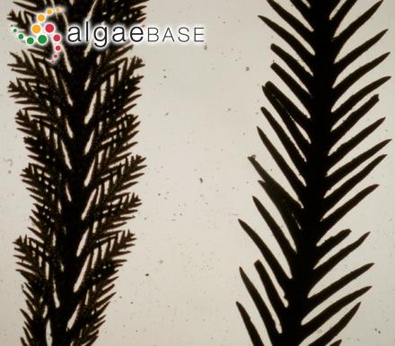 Colaconema spongicola (Weber-vanBosse) Woelkerling