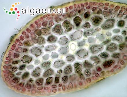 Phloeospora pumila Kjellman
