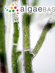Cladophora aegagropila (Linnaeus) Trevisan