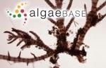 Pterosiphonia pennata (C.Agardh) Sauvageau