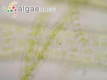 Ralfsia verrucosa var. cochlearum Areschoug