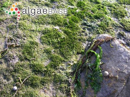 Peyssonnelia australis Areschoug