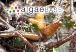 Gongolaria nodicaulis (Withering) Molinari & Guiry