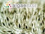 Eudesme virescens (Carmichael ex Berkeley) J.Agardh