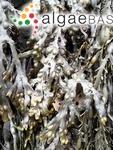 Halidrys vesiculosus (Linnaeus) Stackhouse