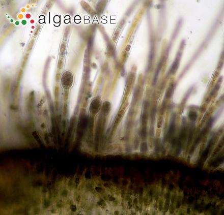 Enteromorpha minima var. elongata Schiffner