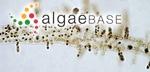 Hydrurus foetidus (Villars) Trevisan
