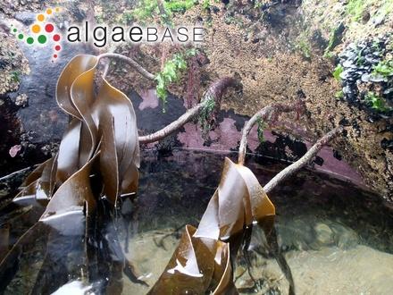 Pylaiella littoralis f. nebulosa Kjellman