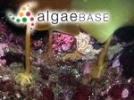 Laminaria hyperborea (Gunnerus) Foslie