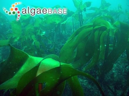 Gloiopeltis capillaris Suringar