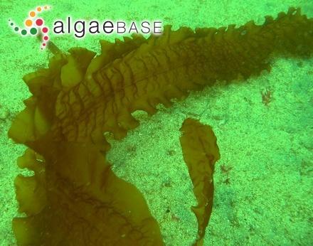 Monostroma sandei Weber Bosse