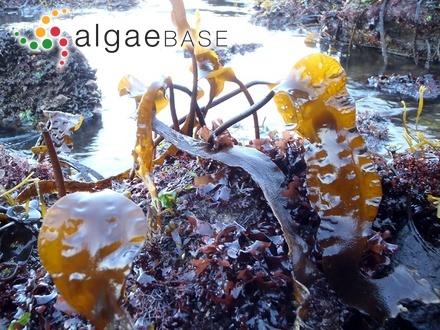 Enteromorpha bulbosa f. africana (Kützing) J.Agardh