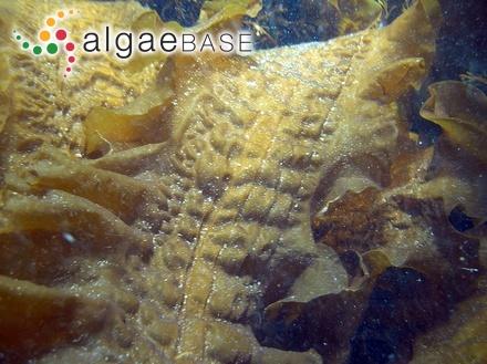 Ulva enteromorpha f. caespitosa Le Jolis