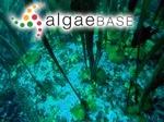 Saccorhiza polyschides (Lightfoot) Batters