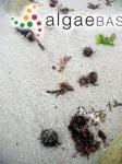 Halopteris scoparia (Linnaeus) Sauvageau