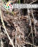 Fucus scorpioides Hudson