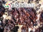 Polymorpha crispa (Stackhouse) Stackhouse