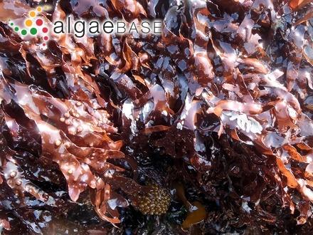 Scageliopsis strongylekystis Athanasiadis