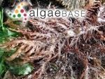 Chondracanthus teedei var. lusitanicus (J.E.De Mesquita Rodrigues) Bárbara & Cremades