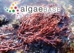 Gigartina pistillata (S.G.Gmelin) Stackhouse