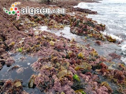 Cladophora corallinicola Sonder