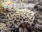 Lithophyllum byssoides (Lamarck) Foslie